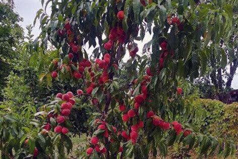 piersiki g82nk - Житель Волковыска из своего сада персики носит ведрами. И всем рекомендует