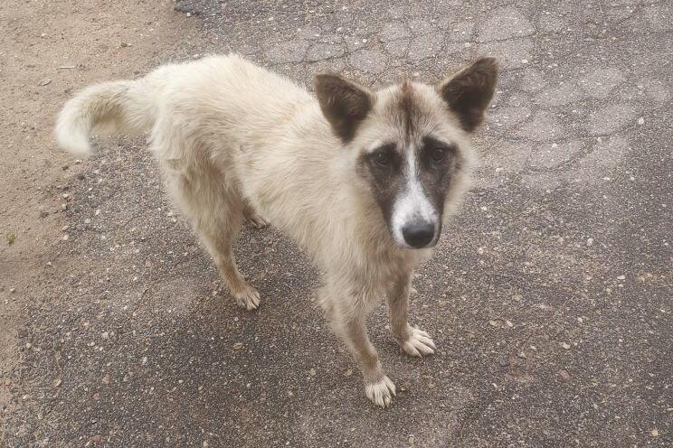 Так собака выглядела, когда появилась в деревне около месяца назад.